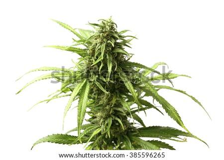 Leafy Top Marijuana Bud on Cannabis Plant Isolated by White Background - stock photo
