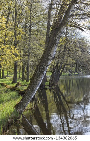 Leaning Birch tree by the water edge - stock photo