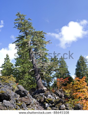 Leaning tree growing in lava flow on Proxy Falls Trail. 16 image stitch. - stock photo