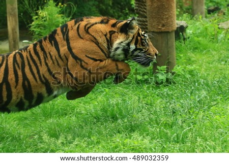Leaping tiger 2
