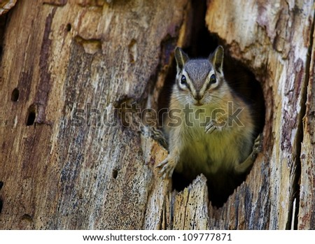 Least Chipmunk dramatically posed in the entrance to his hole; Chopaka Lake, Washington, near the Canadian border; Pacific Northwest wildlife / nature - stock photo