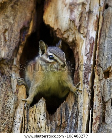 Least Chipmunk emerges from a hole in a pine tree - stock photo