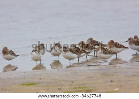 Least Sandpiper Flock on beach - stock photo