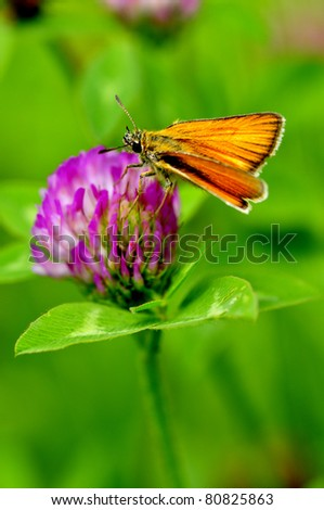 Least Skipper butterfly, Ancyloxypha numitor, siphoning nectar from Red Clover, Trifolium pretense, West Virginia, USA - stock photo