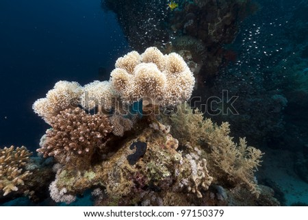 Leather coral and glassfish in the Red Sea - stock photo