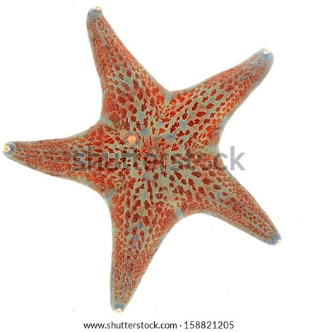 leather star starfish dermasterias imbricata - stock photo
