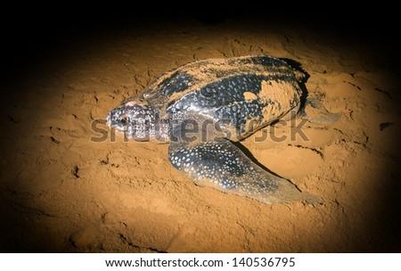 Leatherback Sea Turtle (Dermochelys coriacea) crawled ashore to lay their eggs - stock photo