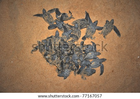 Leatherback sea turtle emergence: once the surface layers of the beach cool after sunset at night, the turtles emerge in a group and proceed to crawl down the beach to the water - stock photo