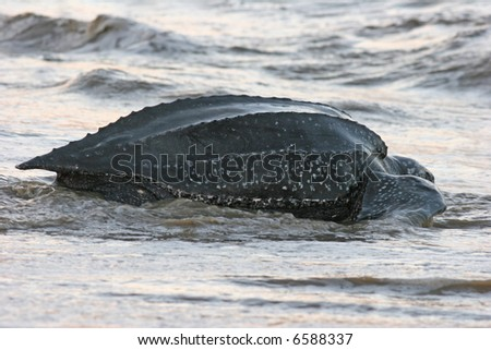leatherback sea turtle returning to the ocean with the nesting process is complete - stock photo