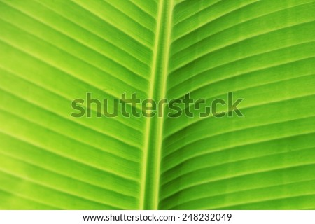 Leave of a banana plant - stock photo
