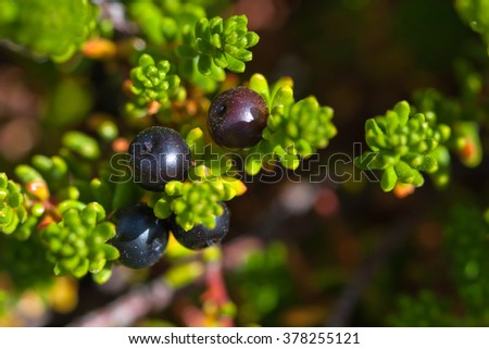 Leaves and berries of Black Crowberry. Iceland. - stock photo