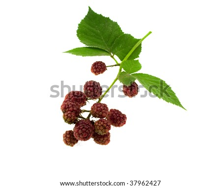 Leaves and blackberry fruits isolated on a white background - stock photo