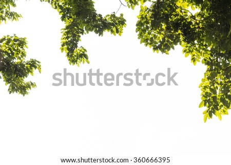 Leaves and branches of a tree on a white background. White backdrop makes the background to make it easy. - stock photo