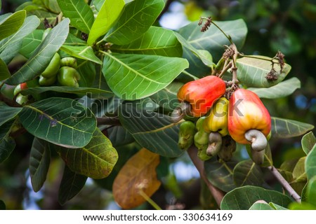 Leaves and cashews in cashew tree - stock photo