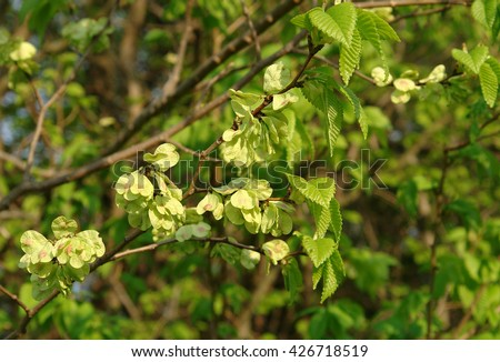 Leaves and fruits of Smooth-leaf Elm Ulmus carpinifolia                                - stock photo