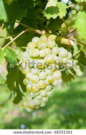 leaves and grapes of white wine - stock photo