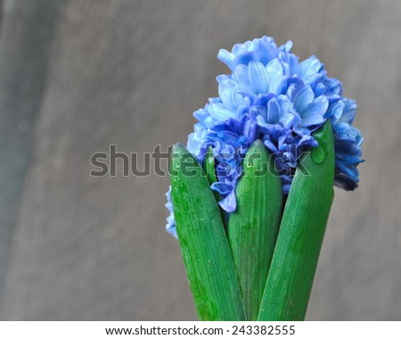 leaves and hyacinth flower covered with drops of water - stock photo