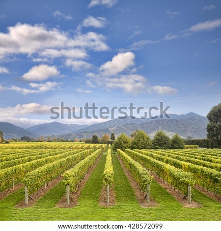 Leaves are just turning to gold in this Marlborough vineyard, New Zealand