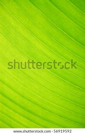 Leaves, banana, close-up - stock photo