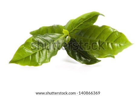 Leaves coffee tree isolated on white - stock photo
