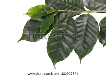 Leaves coffee tree isolated on white background. - stock photo