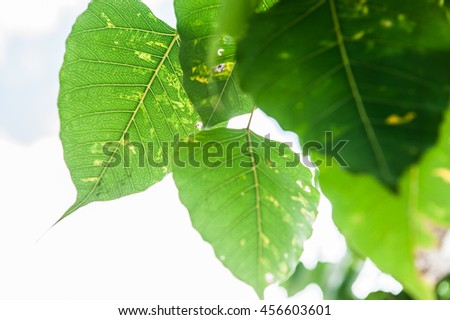 leaves,fresh and green leaves in the sunshine.Leaves with sunlight.Bodhi or Peepal Leaf on nature background