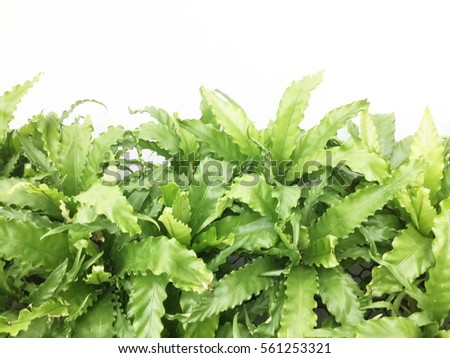 Leaves green fern on white background
