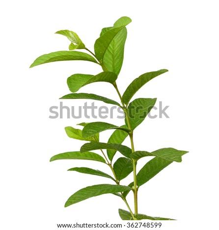 leaves guava set close up macro isolated on white - stock photo