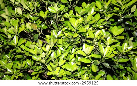 LEAVES IN A BUSH - stock photo