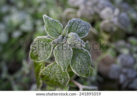 Leaves in hoarfrost with great detail and amazing colors - stock photo