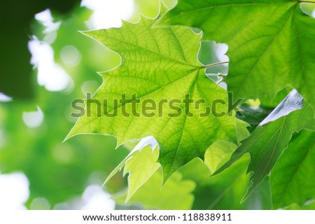 leaves in summer - stock photo