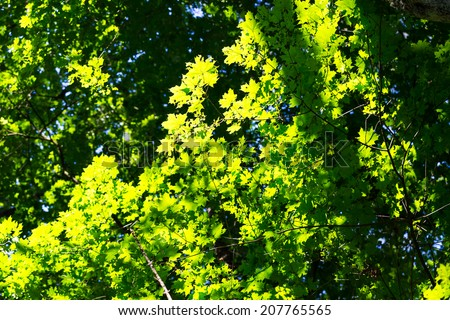 leaves in sunlight background