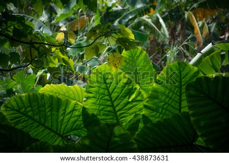 Leaves in the shade. The thick vegetation in the forest. Bushes in the rainforest. Large leaves in the bushes in the forest. Green juicy background - stock photo