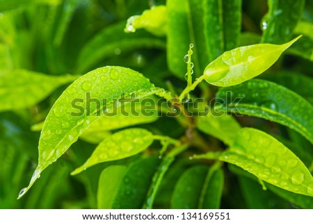 Leaves in water droplets on the branches of ornamental ficus bonsai, shot a macro lens, isolated on a white background. - stock photo