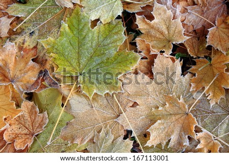 leaves in winter frost - stock photo