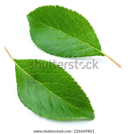 Leaves isolated on white background - stock photo