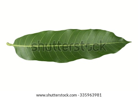 leaves mango  isolated on white background