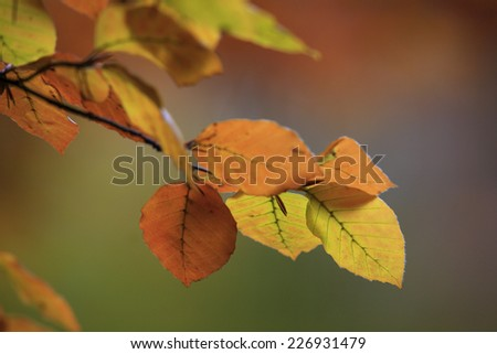 Leaves of a Beech Tree in Autumn - stock photo