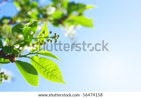 Leaves of a bird-tree and blue sky with clouds