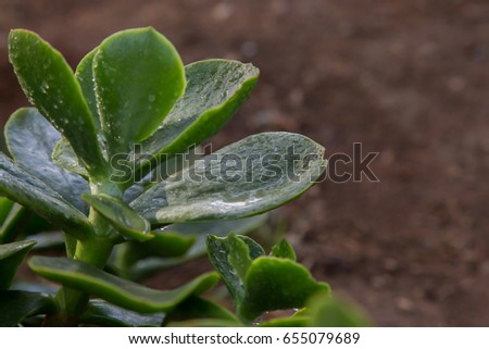 Leaves of a cactus plant