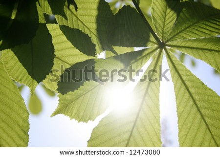 Leaves of a chestnut and the sun - stock photo