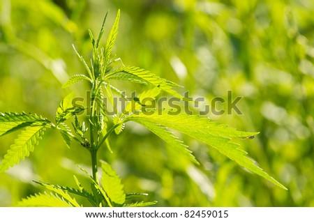 Leaves of a hemp. - stock photo