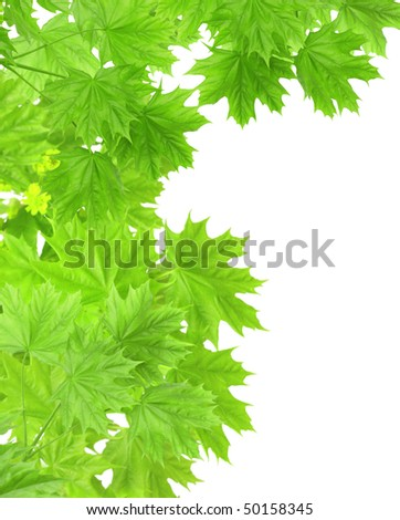 Leaves of a maple - isolated over white