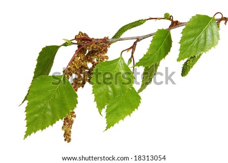 Leaves of a silver birch tree, isolated on white.  Fresh spring growth. - stock photo