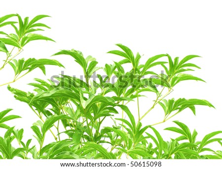 Leaves of a tropical plant - isolated over white - stock photo