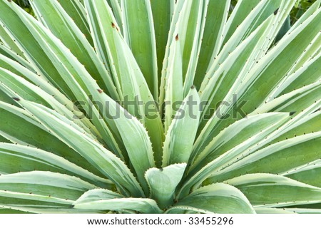 Leaves of a variegated succulent agave or yucca plant. - stock photo