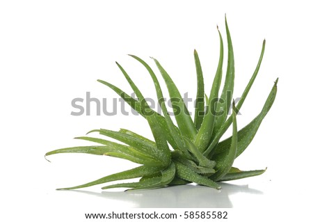 leaves of aloe plant