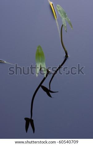Leaves of Arrowhead (Sagittaria sagittifolia), reflected in water - stock photo