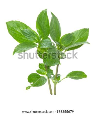 Leaves of basil isolated on white background - stock photo