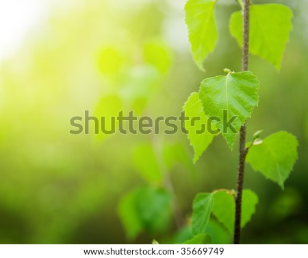 leaves of birch in deep forest - stock photo